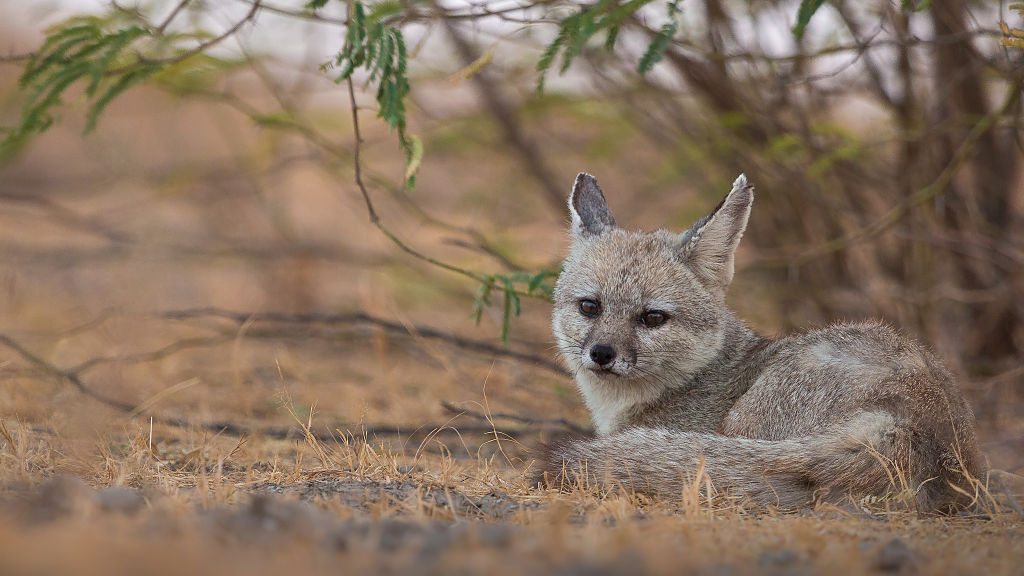 Wild dog species list with pictures types of wild dogs indian fox at little rann of kutch fandeluxe Images