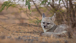Indian Fox at Little Rann of Kutch.jpg