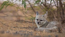 Female at den site in the Little Rann of Kutch