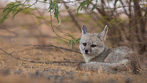 Bengal fox - Female at den site in the Little Rann of Kutch