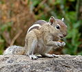 Indian Palm Squirrel 2013.jpg