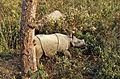 Indian Rhinos (Rhinoceros unicornis) youngs (20353230138).jpg