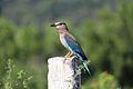 Indian Roller@'Pala Pitta'@Coracias benghalensis.jpg