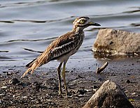 Indian Stone-curlew Burhinus indicus (4192874412).jpg