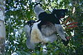 Indris (Indri indri) female with young (9641276627).jpg