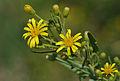 Inula viscosa - Strong-Smelling Inula.JPG