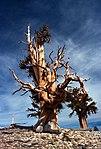 Inyo Bristlecone Pine Tree (5632371671).jpg
