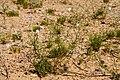 Ipomopsis longiflora - Flickr - aspidoscelis.jpg