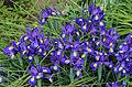 Iris Latifolia R03.jpg