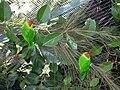 Iris Lorikeet (Psitteuteles iris) -on plant in cage.jpg