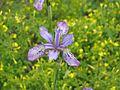Iris milesii - Flickr - peganum (2).jpg