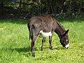 Irish Donkey - geograph.org.uk - 826386.jpg