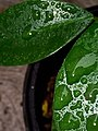 Is it Dew or is it Raindrops or are they the same thing.jpg
