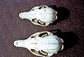 Island fox, top, v gray fox skulls (26585048390).jpg