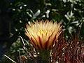 Israel Egypt 2009 4092599751 884bc960e4 Flower O (9198115915).jpg