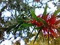 JNU Red Flower on Tree.jpg