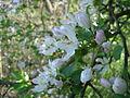 Jabloň lesní květy2.JPG