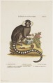 Jacchus vulgaris - 1700-1880 - Print - Iconographia Zoologica - Special Collections University of Amsterdam - UBA01 IZ20200019.tif