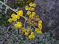 Jacobaea gibbosa 1.jpg