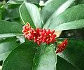 Jacquinia macrocarpa -哥本哈根大學植物園 Copenhagen University Botanical Garden- (36329346114).jpg