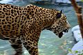 Jaguar at the Brevard Zoo.jpg