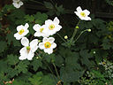 Japanese Anemone Honorine Jobert