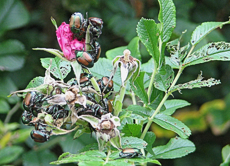 File:Japanese Beetles on Pasture Rose, Ottawa.jpg