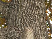 Japanese Maple bark.