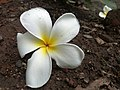 Jasmine blooming yellow&white.jpg