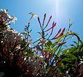 Jasminum polyanthum - Flickr - odako1 (1).jpg
