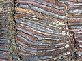 Jaspilite banded iron formation (Soudan Iron-Formation, Neoarchean, ~2.69 Ga; Stuntz Bay Road outcrop, Soudan Underground State Park, Soudan, Minnesota, USA) 28 (18603285114).jpg