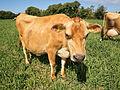 Jersey Cow 2015.jpg