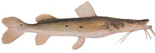 320px Johann Natterer   Jurupoca %28Hemisorubim platyrhynchos%29 Shovelnose Catfish freshwater fish