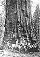 John Muir and Friends at the General Sherman Tree (1902).jpg
