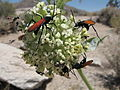 Joshua Tree National Park - Pepsis sp - 1.jpg