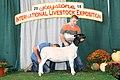 Jr. Show Champion Dorper Ewe (44505797164).jpg