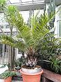 Jubaea chilensis - Palmengarten Frankfurt - DSC01657.JPG