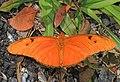 Julia - Dryas iulia, Everglades National Park, Homestead, Florida (39415710064).jpg
