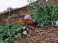Julia butterfly (Dryas iulia) at Jacksonville Zoo.jpg