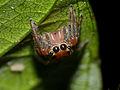 Jumping Spider (Salticidae) (15584427285).jpg