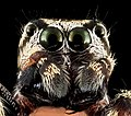 Jumping spider 7, face, upper marlboro, md 2013-10-18-11.52.59 ZS PMax (10401866044).jpg