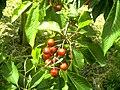 June Flower ^ Cherry Farming Endingen Kaiserstuhl - Master Seasons Rhine Valley Photography 2013 - panoramio (26).jpg