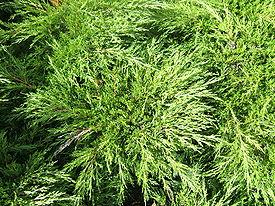 Juniperus sabina cult1.jpg
