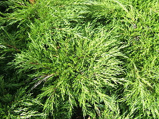 <i>Juniperus sabina</i> species of plant