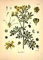 Köhler's Medizinal-Pflanzen in naturgetreuen Abbildungen mit kurz erläuterndem Texte (Plate 24) (7118315805).jpg