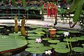 Kew Gardens - Waterlily House - Nepenthes.jpg