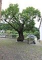 Kirchsahr (Eifel); alte Linde an der Kirche a.jpg