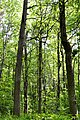 Kivertsi Volynska-Dubovyk nature monument-trees-2.jpg