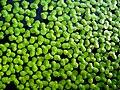 Kleine Wasserlinse (Entengrütze).JPG