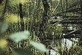 Kleines Sumpfgebiet im Naturschutzgebiet Kuhlrader Moor und Röggeliner See.jpg
